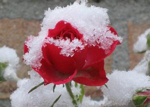 Как укрывать розы на зиму в сибири
