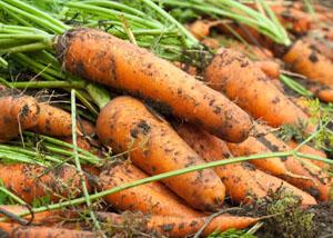 Большой урожай моркови
