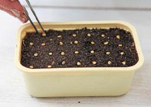 Посадка семян перца в емкость. Фото