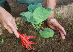 Окучивание капусты в открытом грунте