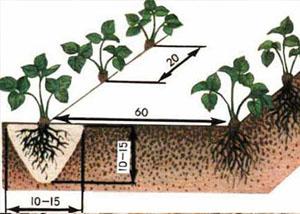 Схема посадки клубники. Фото