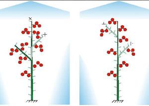 Схема формирования томатов в теплице