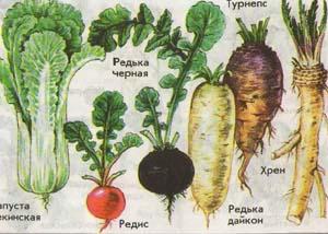 Овощи семейства крестоцветные
