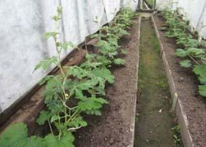 Подросшие растения арбуза