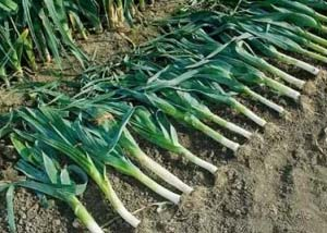 Убираем урожай лука