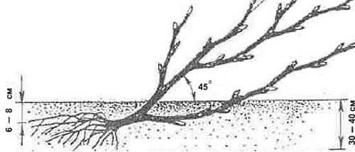 Схема посадки крыжовника