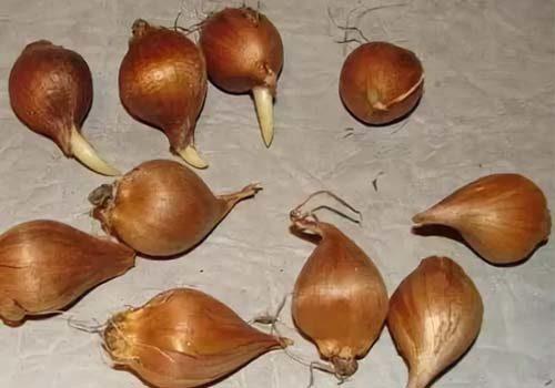 Луковицы ирисов
