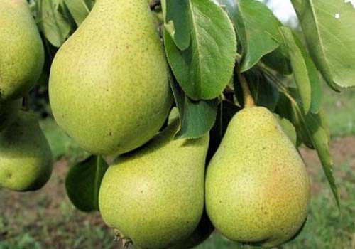Плоды сорта Северянка