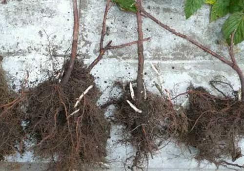 саженец с развитой корневой системой