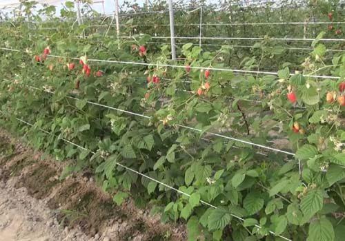 траншейный способ посадки малины