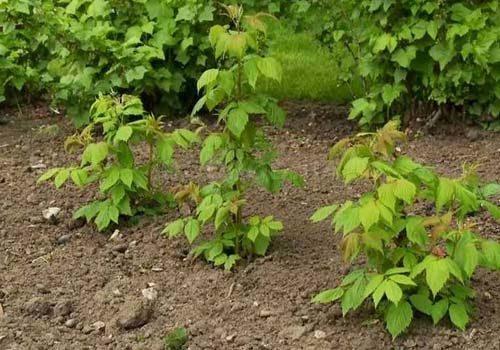кустовой способ посадки малины