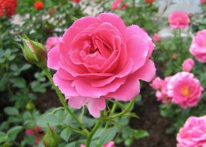 Уход за розами в сибири