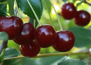 Спелые ягоды черешни. Фото