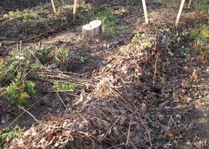 Укрытие винограда на зиму опавшей листвой
