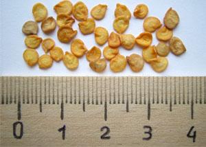 семена перца