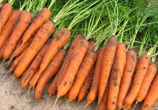 Уборка моркови в Сибири