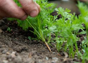 Как прореживать морковь правильно