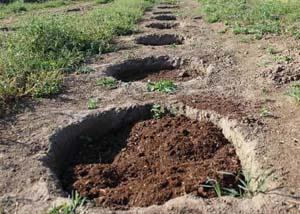 Посадочная яма для голубики. Схема. Фото