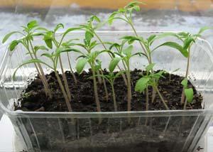 Сеянцы томатов. Фотография