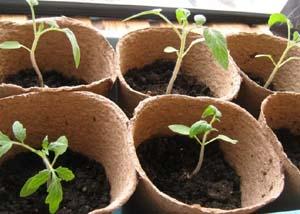 томаты после пикировки