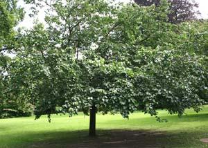 взрослое дерево шелковицы