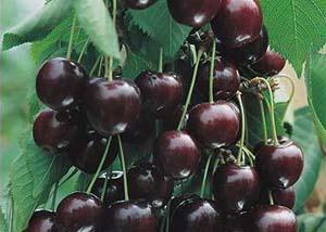 Ягоды вишни шоколадница. Фото