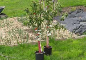Как правильно посадить яблоню осенью на урале