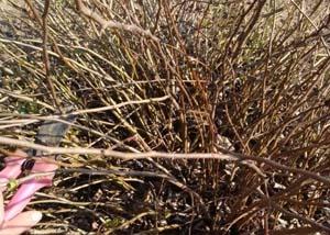 Айва японская посадка и уход в открытом грунте на урале