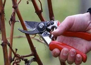 Девичий виноград подготовка к зиме в Сибири