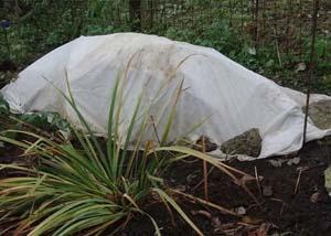 Хоста посадка и уход в открытом грунте в сибири