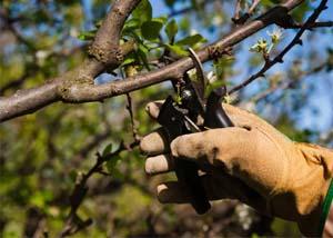 Садовод уход за яблоней
