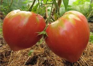Плоды томатов розовый мед