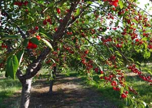 Посадка вишни